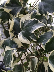 Ivy Algerian Variegated and Green