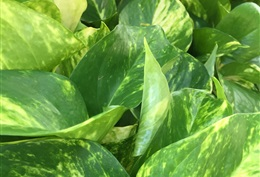 Pothos Hi Color