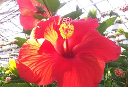 Hibiscus Tree Pink or Red